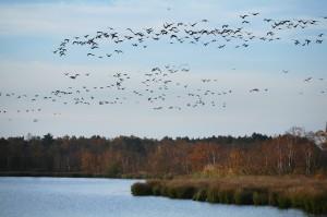 Flock of geese (5D03210)