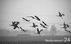 Kraanvogels Kruisstraat Nederweer-Eind