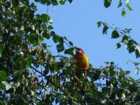 Papegaai gespot Nederweert