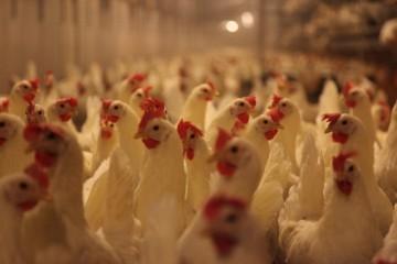 landelijke maatregelen vogelgriep