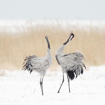 kraanvogels - bob Luijks - natuurportret