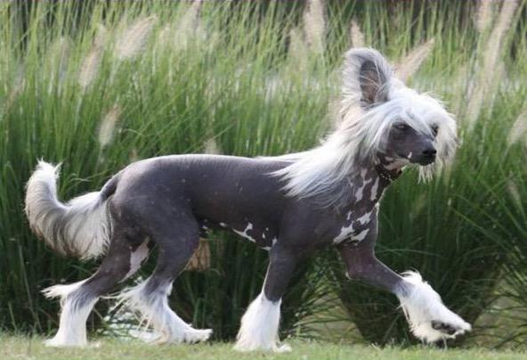 chinese naakthond Meijel