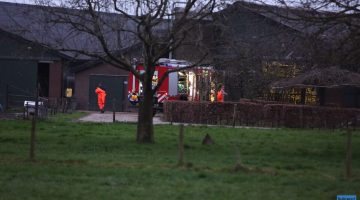 Twee koeien vallen in gierkelder in Heythuysen