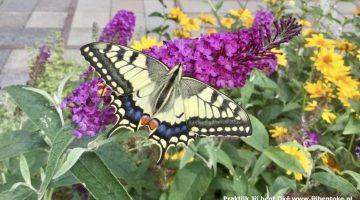 Wil jij ook zo'n vlinder in je tuin?