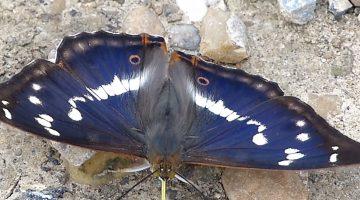 De grote Weerschijnvlinder – Hans Melters
