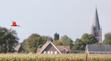 Rode Ibis gespot in Nederweert