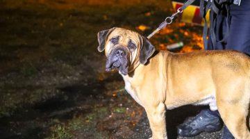 Politie redt hond van snelweg A2 bij Kelpen-Oler