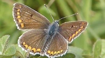 Bruin blauwtje | Vlinderrubriek met Hans Melters