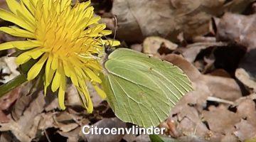Citroenvlinder | Vlinderrubriek met Hans Melters