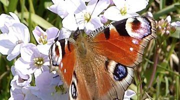 Dagpauwoog | Vlinderrubriek met Hans Melters