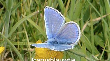 Icarusblauwtje | Vlinderrubriek met Hans Melters