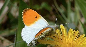 Oranjetipje   Vlinderrubriek met Hans Melters
