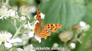 Gehakkelde Aurelia | Vlinderrubriek met Hans Melters