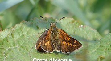 Het groot dikkopje | Vlinderrubriek met Hans Melters