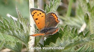 Kleine vuurvlinder | Vlinderrubriek met Hans Melters