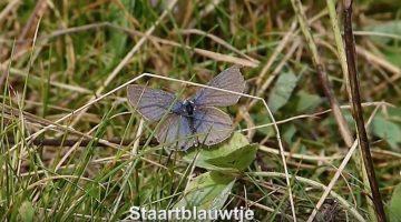 Staartblauwtje | Vlinderrubriek met Hans Melters