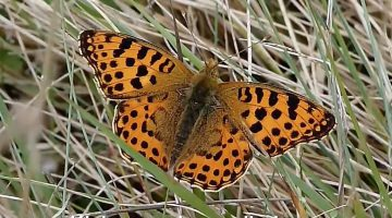 De kleine parelmoervlinder   Vlinderrubriek met Hans Melters