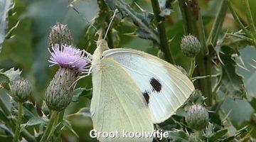 Groot koolwitje | Vlinderrubriek met Hans Melters