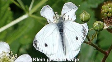 Het klein geaderd witje | Vlinderrubriek met Hans Melters