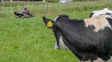 Motorrijder belandt tussen de koeien