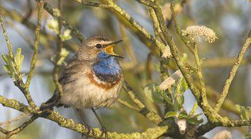Lezing: Broedvogels van Nederweert
