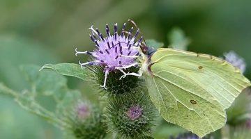 De Peel één van de vlinderrijkste gebieden van Nederland