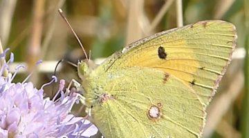 De oranje luzernevlinder | Vlinderrubriek met Hans Melters
