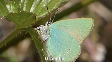 Het groentje | Vlinderrubriek met Hans Melters