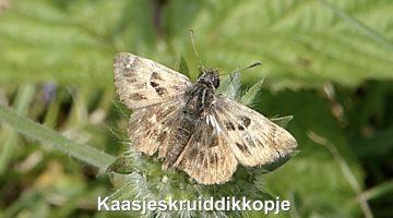 Het kaasjeskruiddikkopje | Vlinderrubriek met Hans Melters