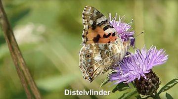 De Distelvlinder | Vlinderrubriek met Hans Melters