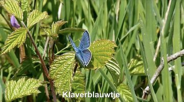 Het klaverblauwtje | Vlinderrubriek met Hans Melters