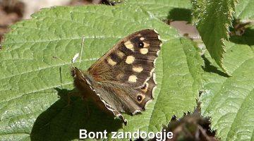 Het Bont Zandoogje | Vlinderrubriek met Hans Melters