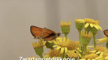 Het zwartsprietdikkopje | Vlinderrubriek met Hans Melters