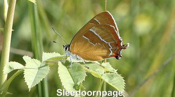 De sleedoornpage | Vlinderrubriek met Hans Melters