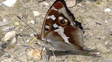 De grote weerschijnvlinder | Vlinderrubriek met Hans Melters