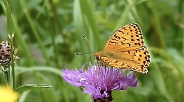 De grote parelmoervlinder | Vlinderrubriek met Hans Melters