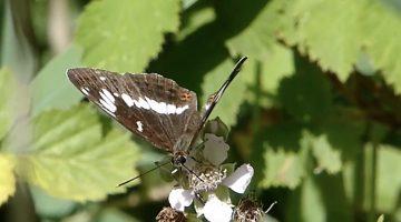 De kleine ijsvogelvlinder | Vlinderrubriek met Hans