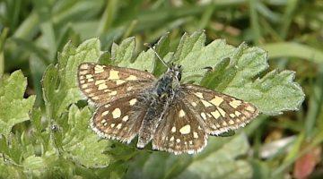 Het bont dikkopje | Vlinderrubriek met Hans