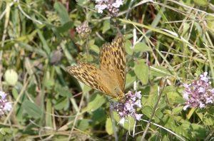 De Keizersmantel   Vlinderrubriek met Hans