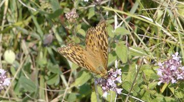 De Keizersmantel | Vlinderrubriek met Hans