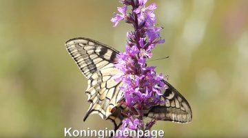De koninginnenpage | Vlinderrubriek met Hans Melters