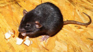 Rattenbestrijding in Weert in volle gang