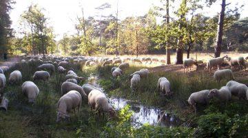250 schapen 'maaien' gras in het stedelijk gebied Weert