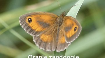Het Oranje zandoogje | Vlinderrubriek met Hans Melters