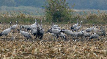 Film 'de vlucht van de kraanvogels' bij De Pelen