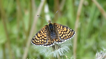 De veldparelmoervlinder | Vlinderrubriek met Hans Melters