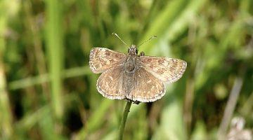 Het bruin dikkopje | Vlinderrubriek met Hans Melters