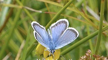 Het heideblauwtje in de Peel | Vlinderrubriek met Hans Melters