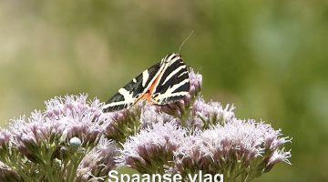 De Spaanse vlag | Laatste vlinderrubriek met Hans Melters